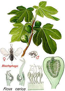 la pollinisation du figuier par le blastophage