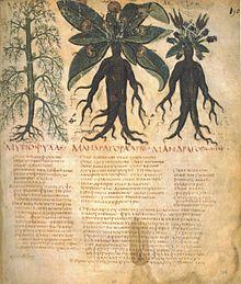 Mandragores mâle et femelle. Manuscrit Dioscurides neapolitanus, Biblioteca Nazionale di Napoli, début du viie siècle.