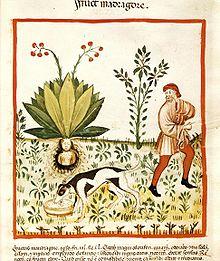 Arrachage d'une mandragore. Manuscrit Tacuinum Sanitatis, Bibliothèque nationale de Vienne, v. 1390